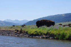 Bison grazing at waters edge