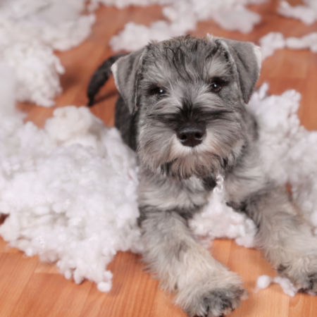 Naughty bad cute schnauzer puppy dog made a mess at home, destroyed plush toy.