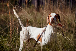 A hunting dog standing in a field