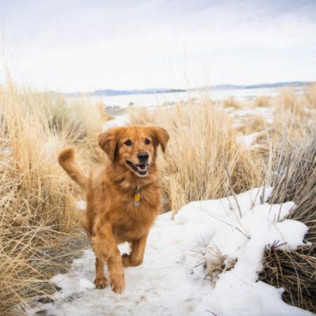 Golden Retriever running through snow and high grasses