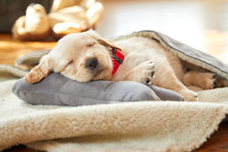 Puppy sleeping on his bed