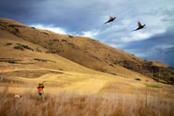 person hunting in field aiming at two pheasants