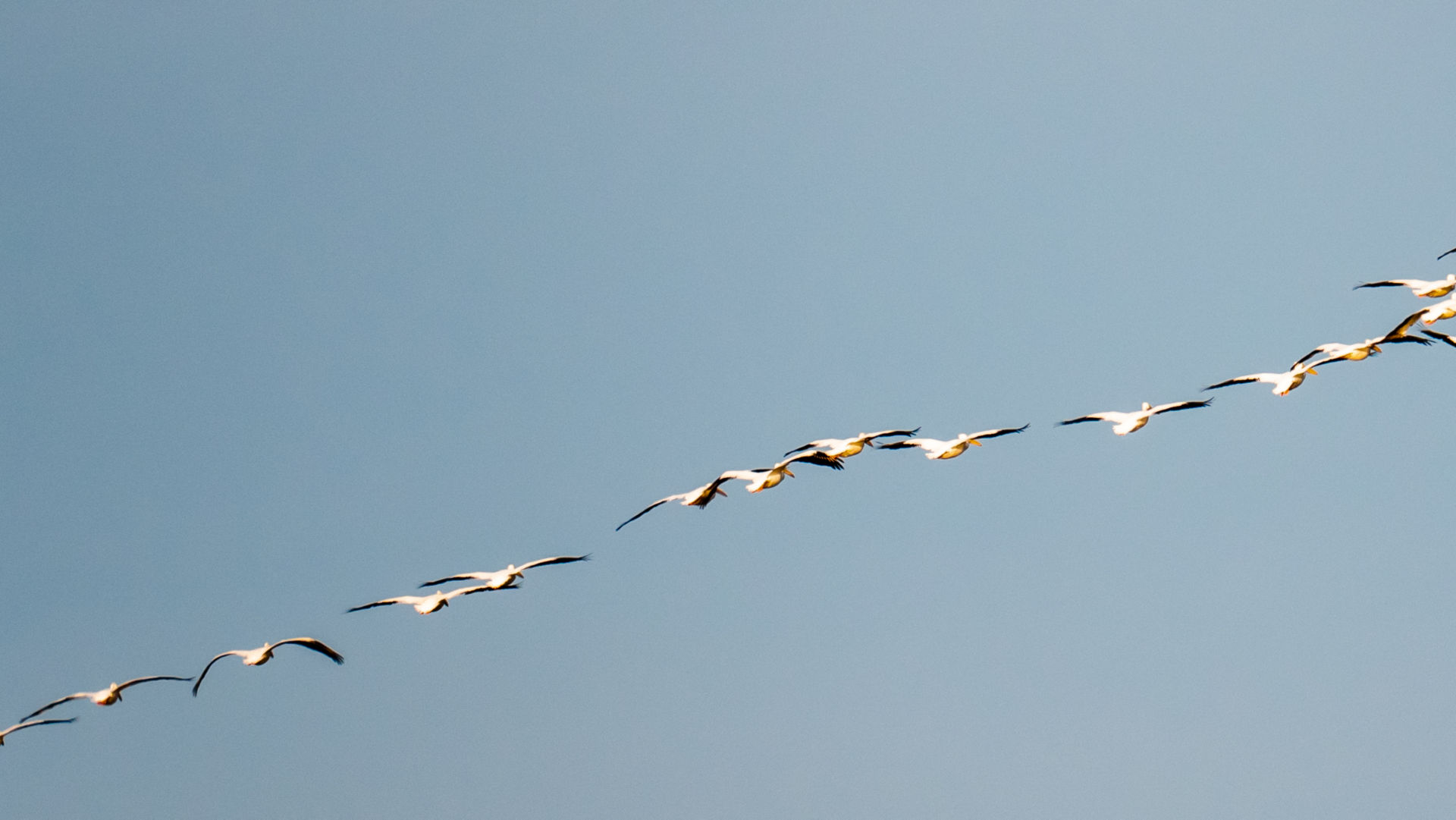 flock of birds flying in blue sky
