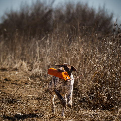 A dog running through a field with a dog training toy in its mouth