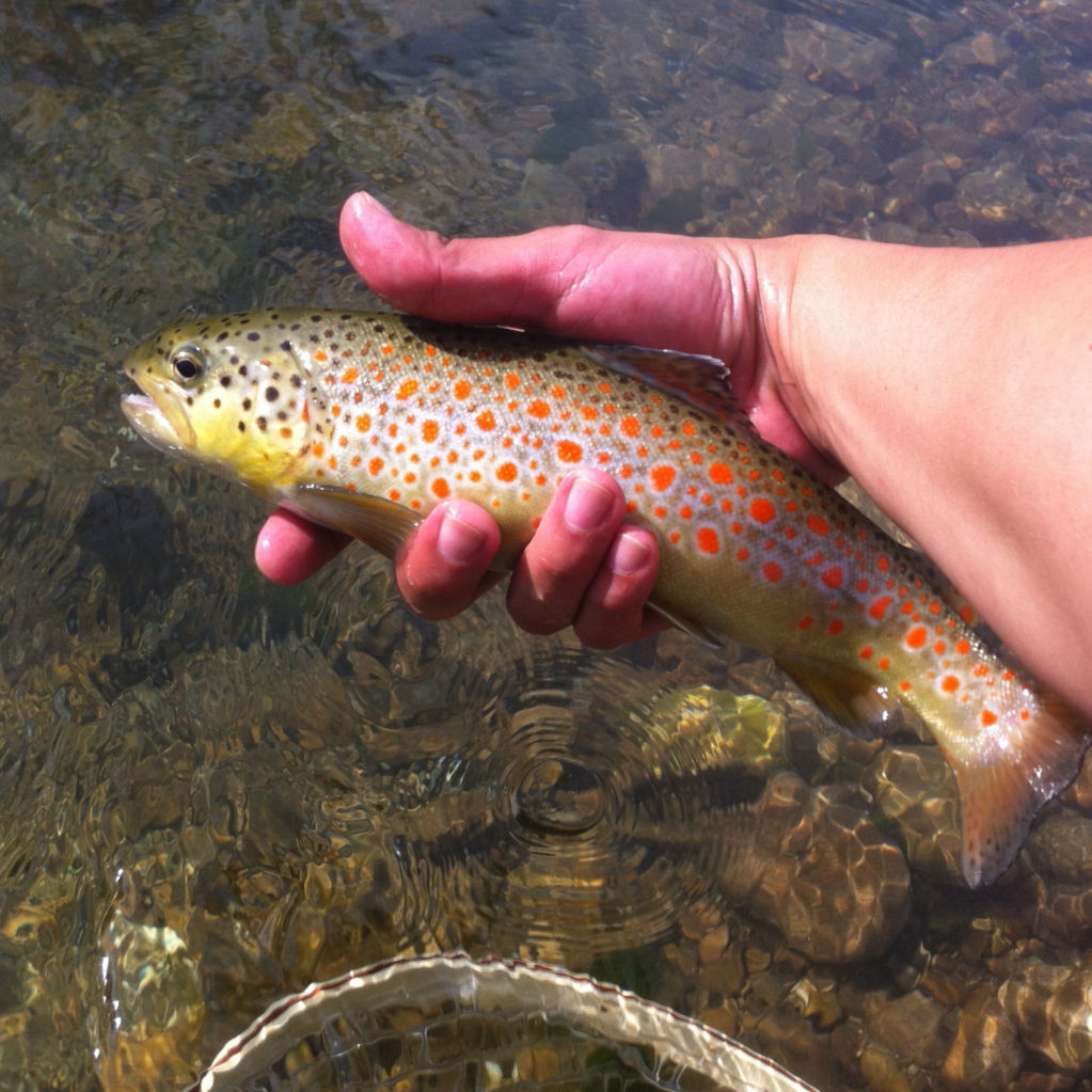 The Puccini trout of central Italy sport remarkable, bright spots.