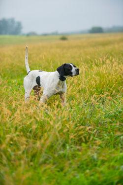 dog in a wheat field