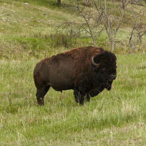 A buffalo standing in a field