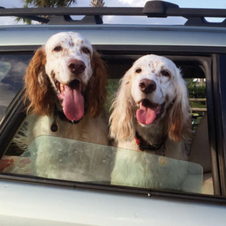 Two dogs sticking their heads out the car window
