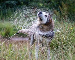 Wet dog shakes water out of their fur