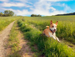 Dog sprinting in a field