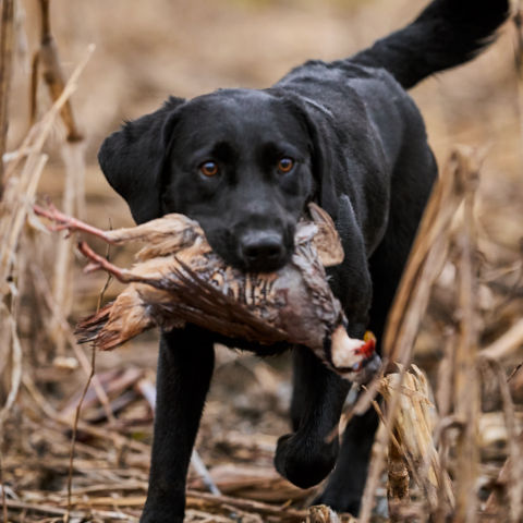 Black lab carrying a pheasant