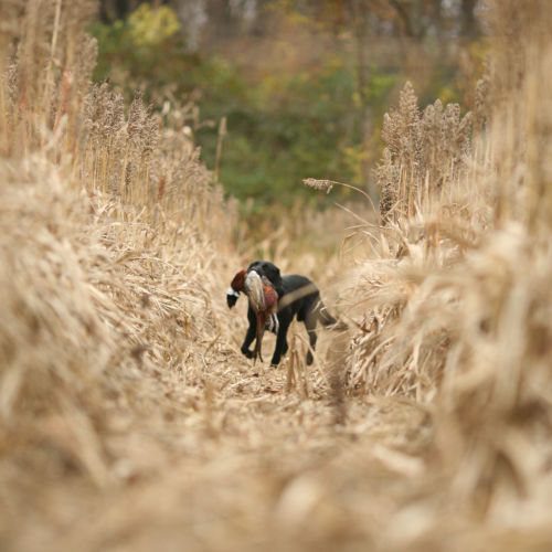 Black dog in field carrying a pheasant