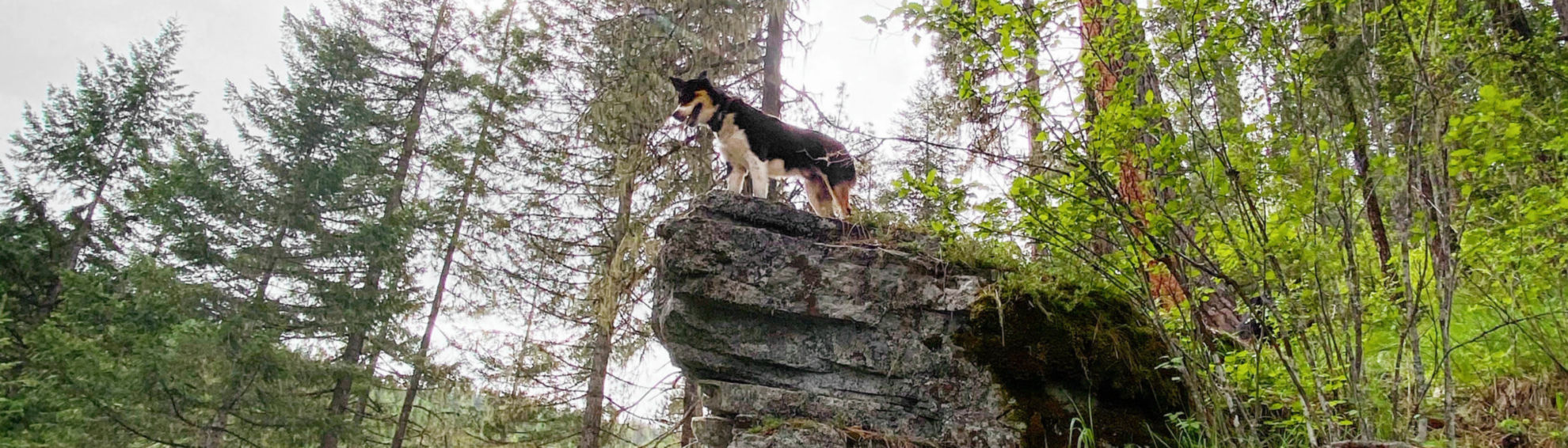 Dog standing on a boulder in the woods