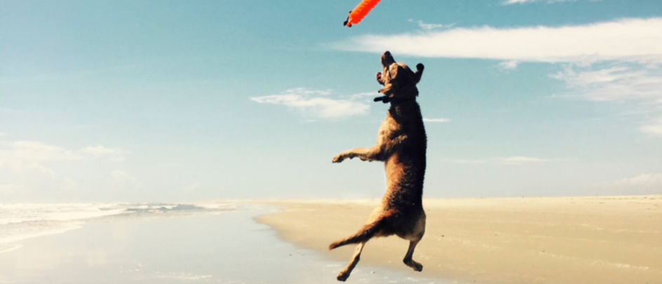 Dog lunges in the air to catch a toy